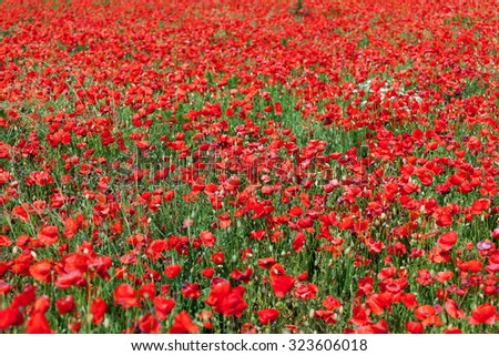 Close up of red corn poppies on a field