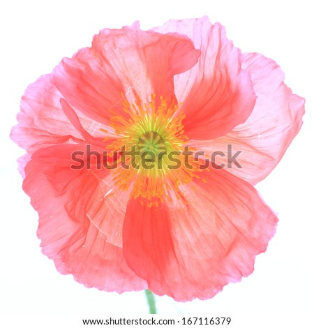 close up of  red corn poppy on whtie background with copy space