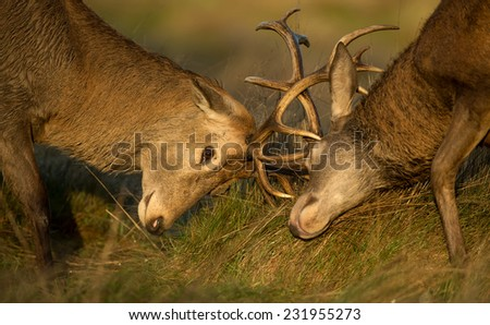 Close-up of Red deer stag fight during the rut, UK