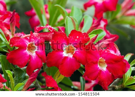 Close up of red Desert Rose flowers with dewdrop;  Also call Impala Lily Adenium, pink bigonnia ( Adenium obesum (Forssk.) Roemer & Schultes, APOCYNACEAE.) - stock photo