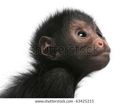 Close-up of Red-faced Spider Monkey, Ateles paniscus, 3 months old, in front of white background - stock photo