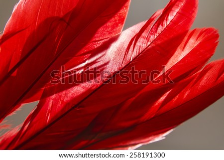 Close-up of red feather with light on background.Silhouette style. - stock photo