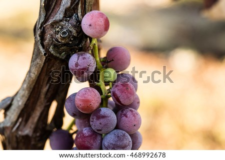 Close up of red grapes growing on a vine in a wine vineyard in Tennessee