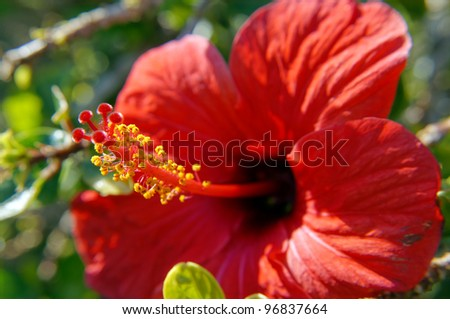 Close up of red hibiscus flower