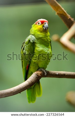 Close up of Red-lored Parrots (Amazona autumnalis), selective focus. - stock photo