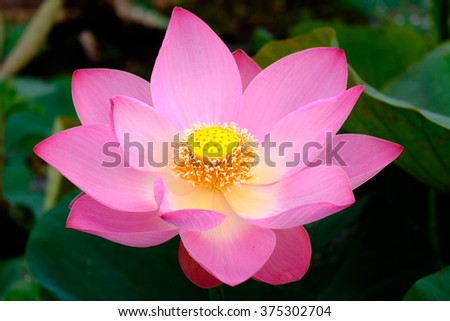 close up of red lotus - stock photo