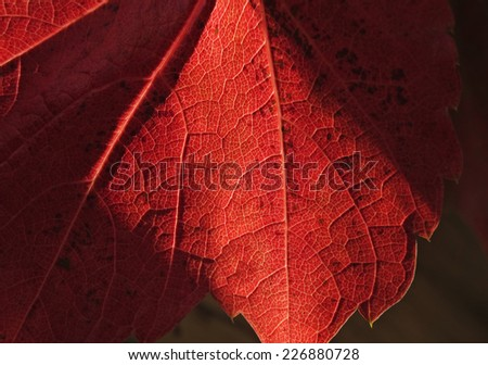 close up of red maple leaf - stock photo