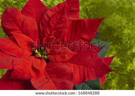 Close up of red poinsettia on green background