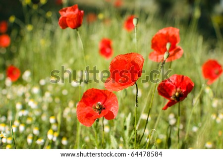 Close-up of red poppy flowers in summer. Very low depth of field - stock photo