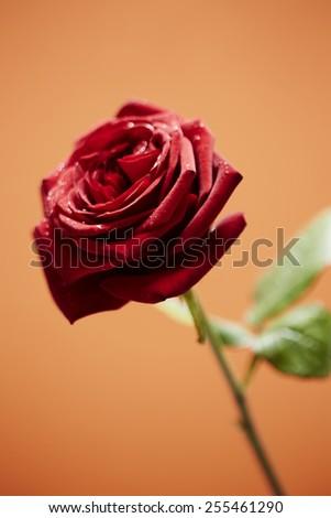 Close up of red rose on orange background - stock photo