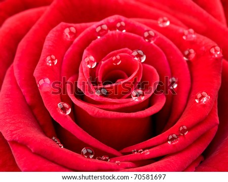 Close-up of red rose petals with water drops - stock photo