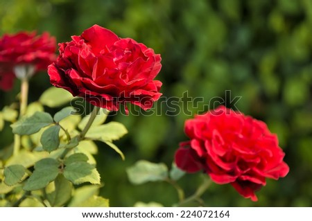 Close up of red rose, selective focus.