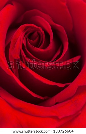 Close-up of red roses on white background.