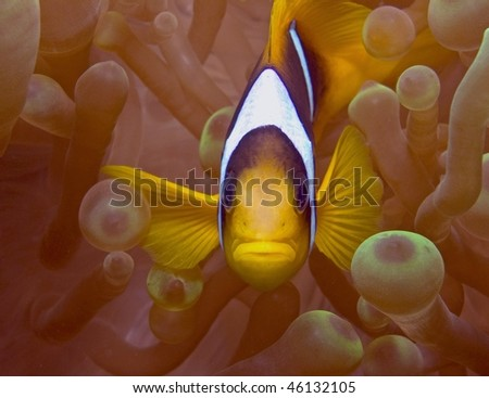 Close up of Red Sea Anemonefish (Amphirion bicinctus) in Anemone - stock photo