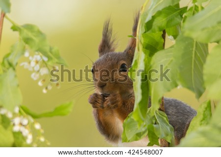 close up of red squirrel hiding behind leaves