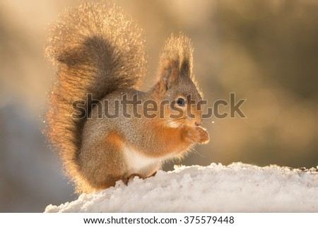 close up of red squirrel in snow  - stock photo