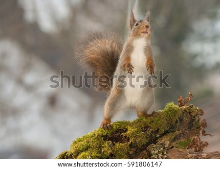 close up of red squirrel standing on moss looking and standing up with open mouth