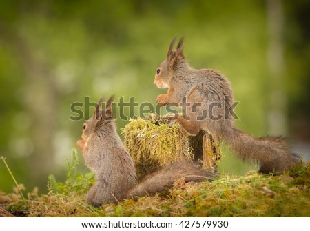 close up of red squirrels standing on moss looking in the distance - stock photo