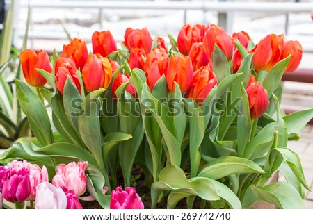 Close up of Red tulips in the spring garden. Shallow DOF - stock photo