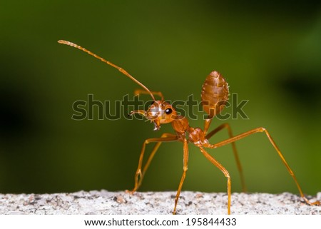 Close up of red weaver ant with wide open mandibles and ready to attack