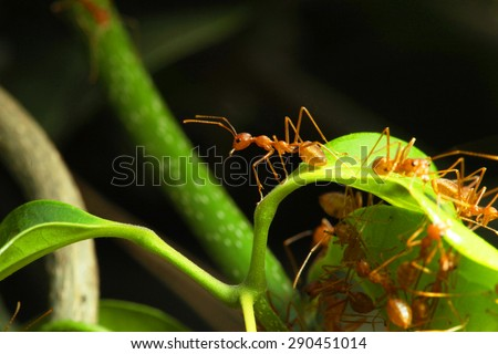 Close up of Red weaver ants (oecophylla smaragdina) making their nest
