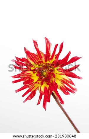 Close up of red yellow dahlia on white background