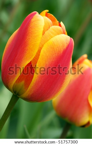 Close-up of red/yellow tulips with green leaves. Shallow DOF. - stock photo