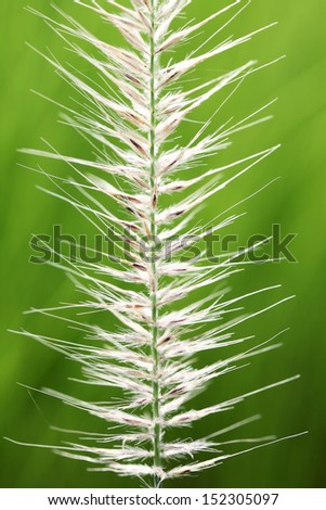 close up of reeds flower