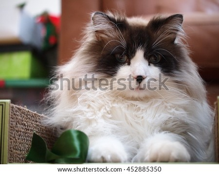 Close up of Regal Long Haired Bi Color Brown White Ragdoll Cat with Blue Eyes and Black Button Nose Sitting in Scratcher Looking at Camera - stock photo