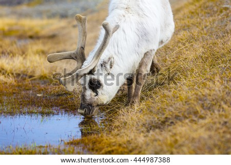 Close-up of reindeer drinking water in the arctic nature - stock photo