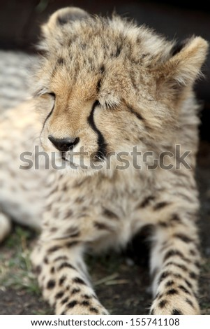 close up of resting cheetah cub  - stock photo