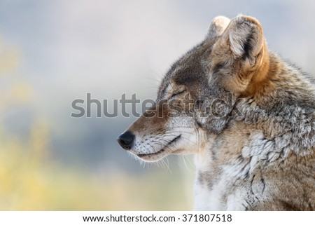 Close up of Resting Coyote - stock photo