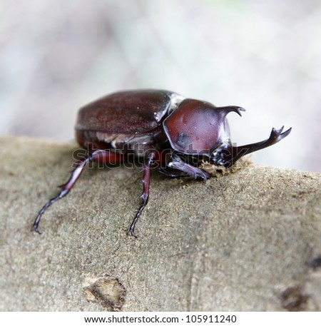 Close up of Rhinoceros beetle sucks juice in Formosan ash. - stock photo