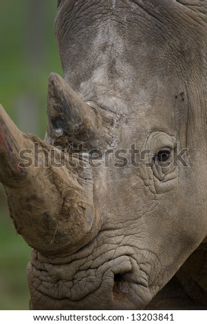 Close up of rhinoceros showing horns