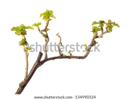 Close-up of Ribes nigrum budding brunch isolated on white - stock photo
