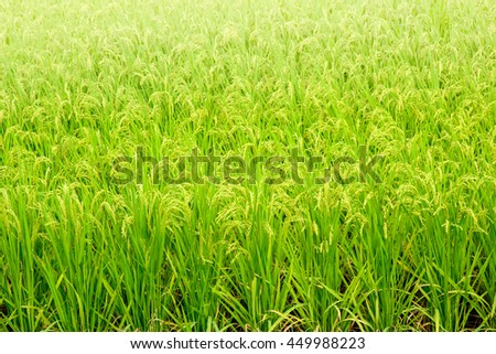 Close up of rice field
