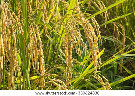 Close up of Rice in Field, shallow depth of field, selective focus (detailed close-up shot)