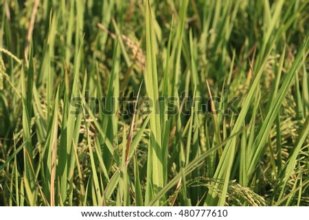 Close up of rice paddy.