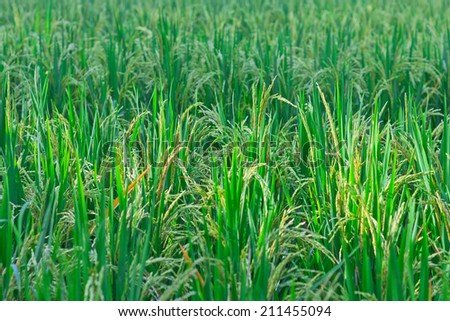 close up of rice paddy ,Thai rice - stock photo