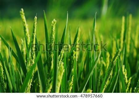 Close up of rice plant on european field.
