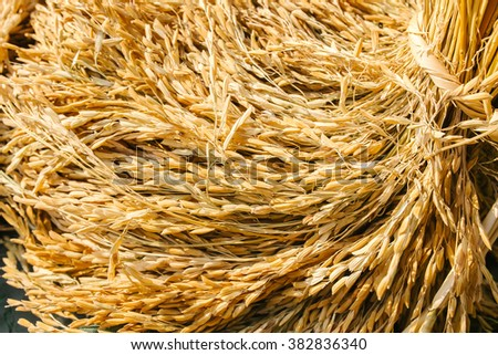 Close up of rice seed or paddy rice on rice plant