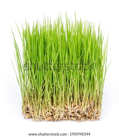 close up of rice sprouts  growing from seeds. - stock photo