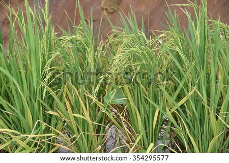 Close-up Of Rice Stalks In A Paddy Field