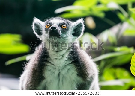 Close up of Ring-tailed lemur on green background
