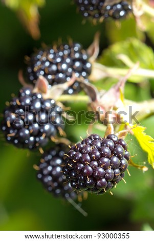 Close-up of ripe blackberries bunch - stock photo