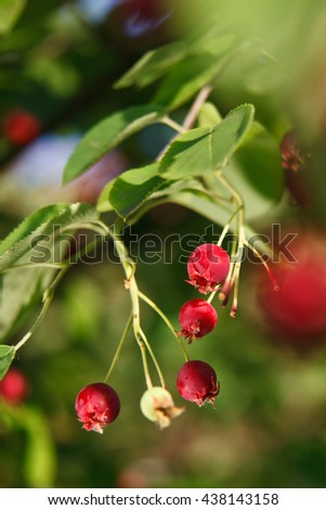 Close-up of ripe cranberries - stock photo