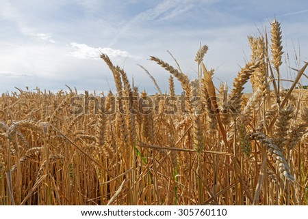 Close up of ripe,golden wheat in a field under a summer sky - stock photo