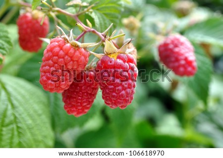 close-up of ripe raspberry in the garden - stock photo