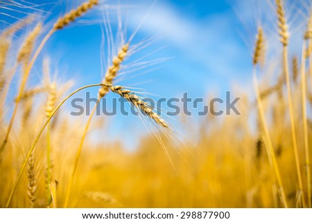 close up of ripe wheat ears against blue sky. soft focus - stock photo