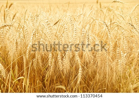 Close up of ripe wheat ears. Selective focus. - stock photo